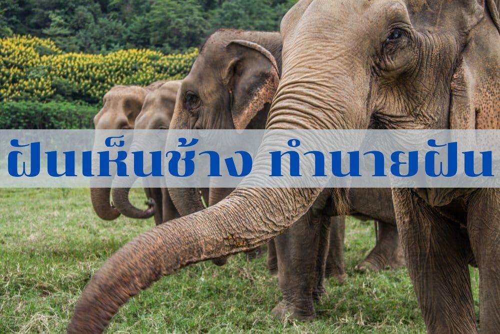 ฝันเห็นช้าง ทำนายฝันเห็นช้างสามเสียร พร้อมเลขเด็ดๆ แทงหวยออนไลน์
